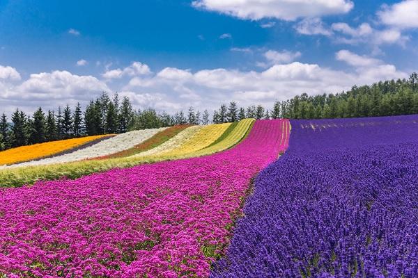 Furano – Vùng đất hoa Lavender thơ mộng, thanh bình